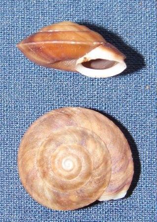 Helicigona lapicida (Linnaeus, 1758)