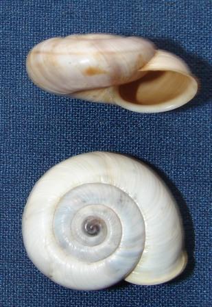 Chilostoma cingulatum ssp?????