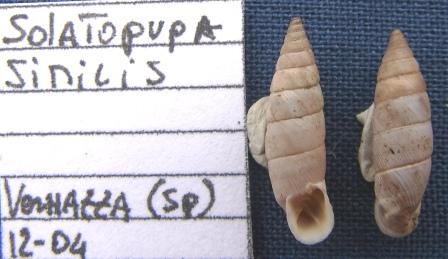 Solatopupa similis (Bruguière, 1792)
