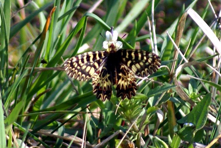 Zerynthia polyxena (Lepidoptera, Papilionidae)