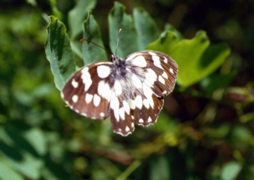 Melanargia galathea, Papilio machaon