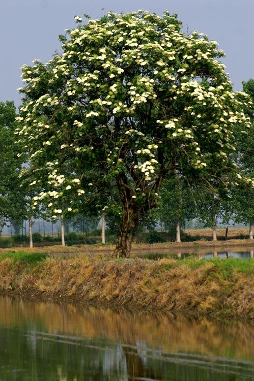 Sambucus nigra / Sambuco