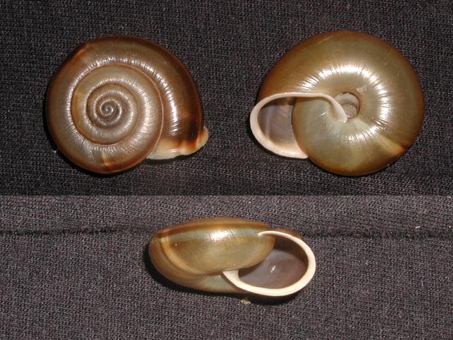 Chilostoma (Faustina) illyricum illyricum (Stabile, 1864)