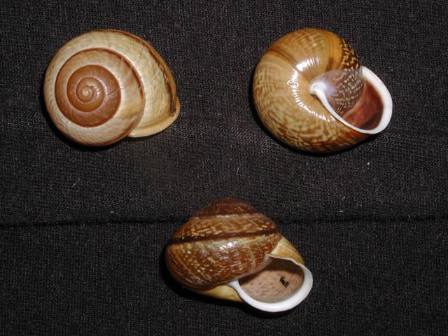 Arianta arbustorum arbustorum (Linnaeus, 1758)