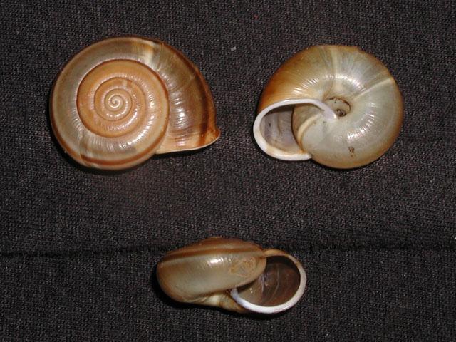 Chilostoma (Campylaea) planospira planospira (Lamarck, 1822)