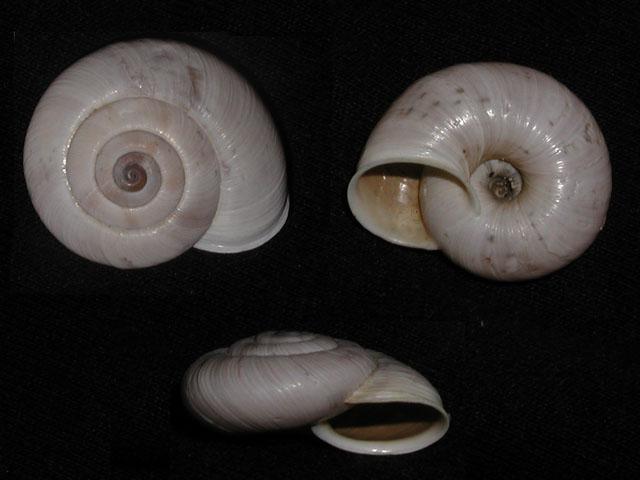 Chilostoma (Chilostoma) cingulatum cf philippi