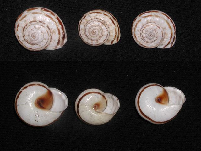 Marmorana (Marmorana) serpentina (Fèrussac, 1821)