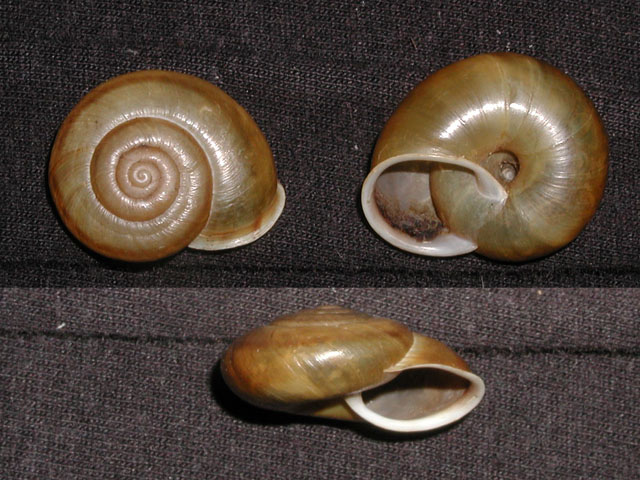 Chilostoma (Chilostoma) adelozona (Strobel, 1857)