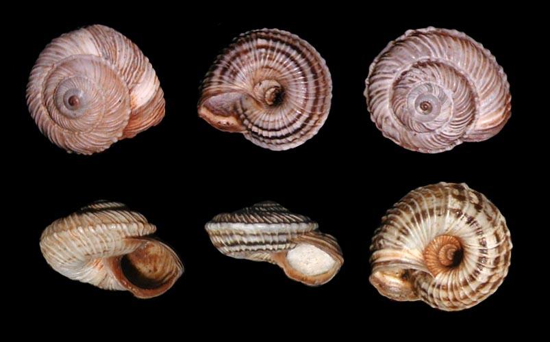 Cernuella (Cernuella) rugosa (Lamarck, 1822)