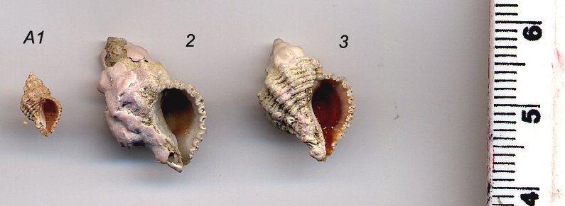 Pseudomurex ruderatus Sturany, 1896