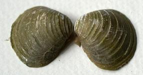 CHECKLIST ILLUSTRATA  e Lista Rossa dei Molluschi italiani