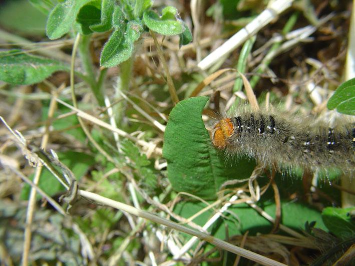 Un bruco che divora il trifoglio - Lasiocampa trifolii