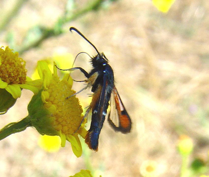 Synanthedon myopaeformis, nuovo per la Sardegna (Sesiidae)