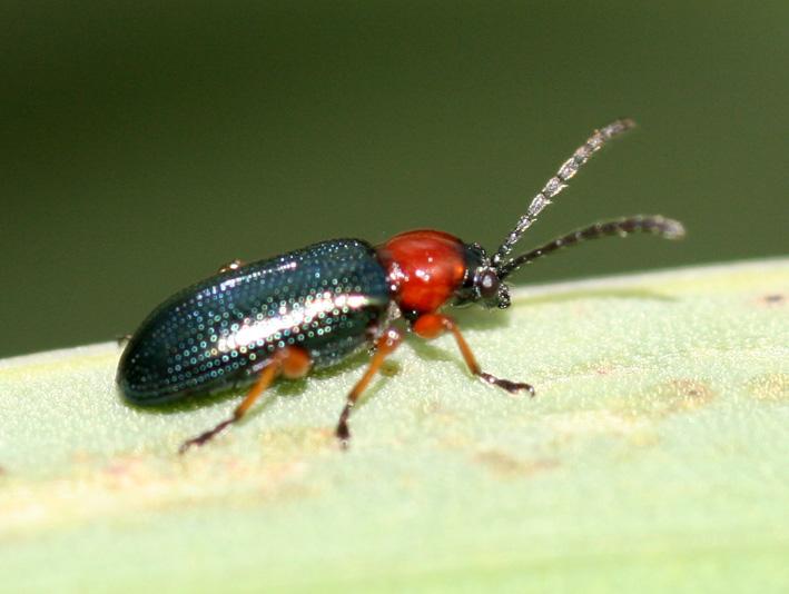Chrysomelidae: Oulema sp. e Cantharidae:  Cantharis praecox