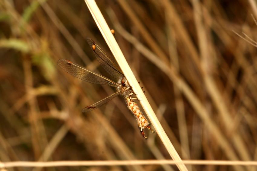 Deleproctophylla australis, maschio (Planip., Ascalaphidae)