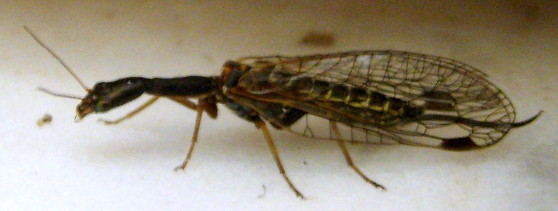insetto ALIENO ?! : Raphidiidae Phaeostigma sp.