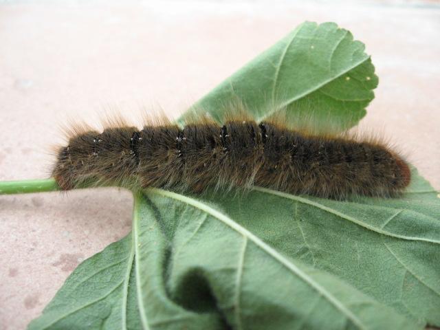 larva di Lasiocampa trifolii