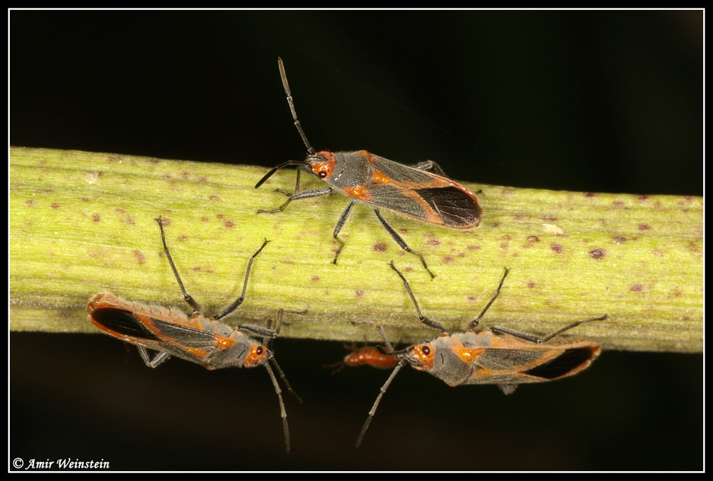 Caenocoris nerii - Cannibalism story?