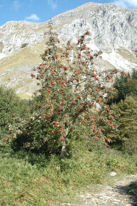 Sorbus aucuparia / Sorbo degli uccellatori , Forum Natura ...