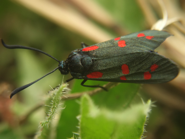 Prime schiusure di Zigene: Zygaena filipendulae
