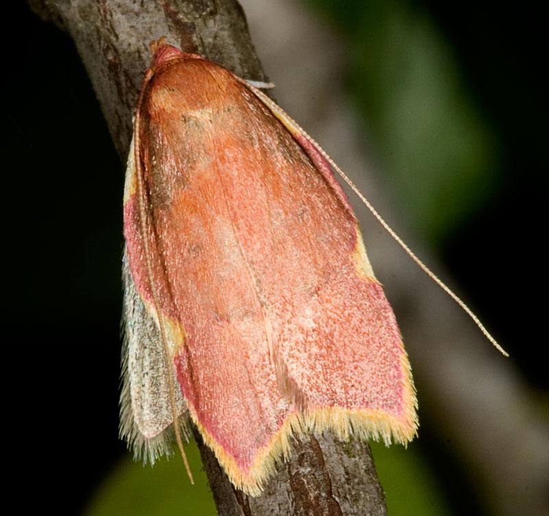 Farfallina rosa: Carcina quercana