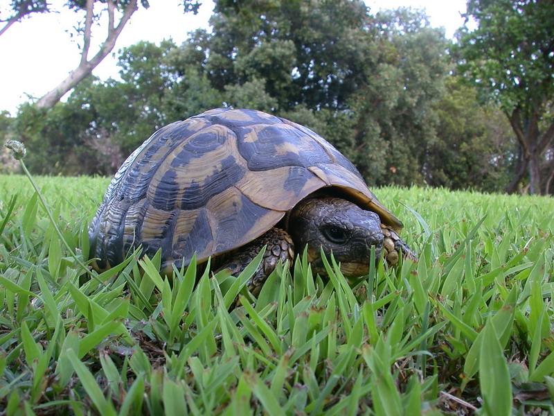 Testudo hermanni hermanni tartaruga corsa a cuppulata forum natura mediterraneo forum for Prezzo tartarughe