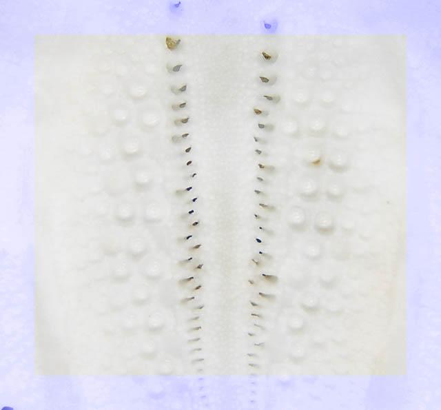 Differenze tra teche di Echinocardium cordatum ed E. fenauxi