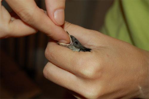 Come aiutare un uccellino in difficoltà