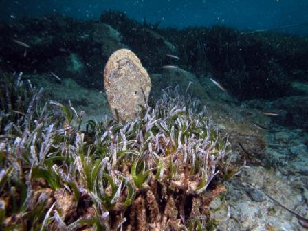 Olive di mare: frutti di Posidonia oceanica