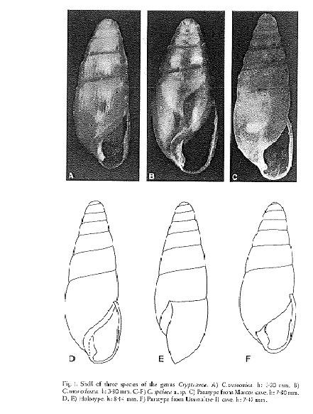 Hypnophyla girottii Esu, 1978