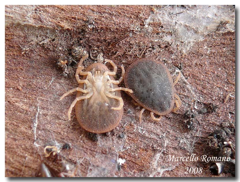 Argas reflexus (Ixodida) sotto corteccia di eucalipto , Forum Natura  Mediterraneo | Forum Naturalistico