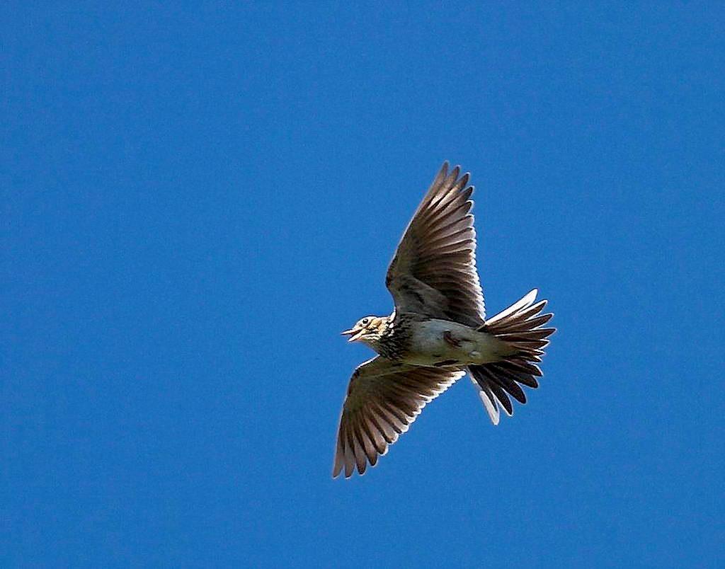 http://www.naturamediterraneo.com/Public/data6/akiller/17Apr07-Allodola.jpg_20079269117_17Apr07-Allodola.jpg