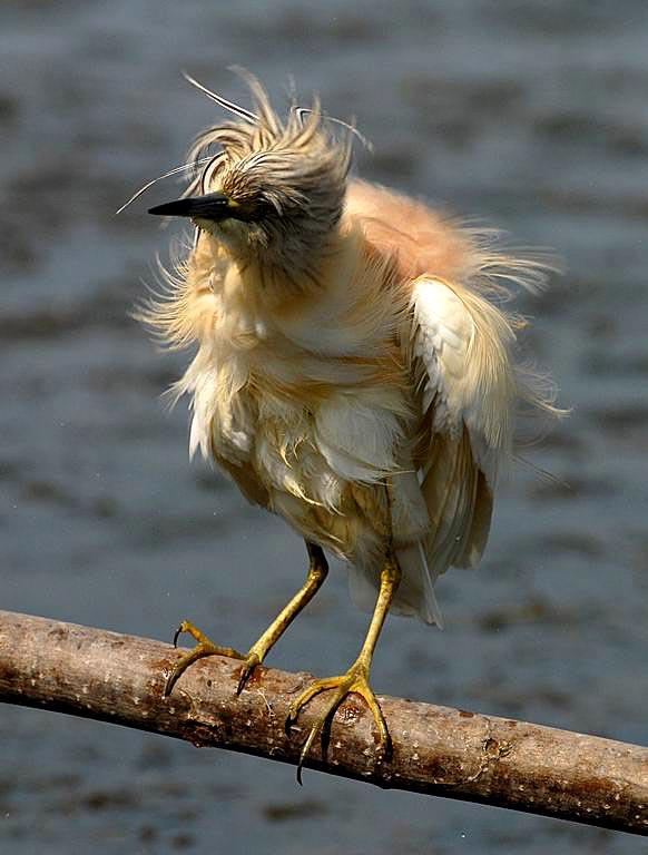 è l'una di notte, ho finito adesso il lavoro, ho cercato qualcosa di carino per voi, ho trovato lui: uccello arruffato, vi piace? dans animali ed animaletti 1Lug07Sgarza3.jpg_200781195825_1Lug07Sgarza3