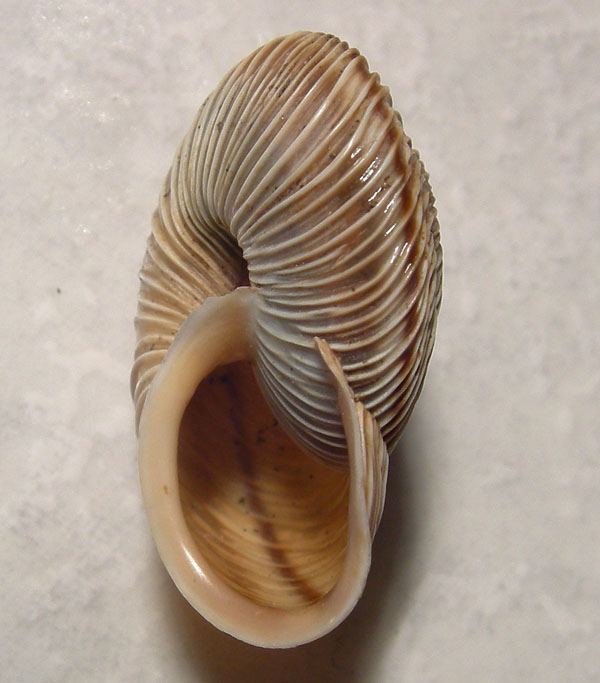 Chilostoma cingulatum gobanzi (BS)