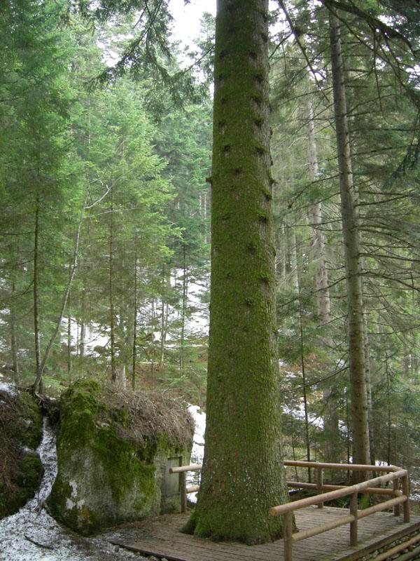 l''Abete bianco più alto d''Europa...(Lavarone - TN)