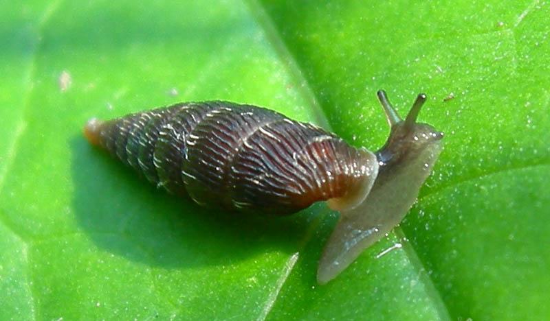 Macrogastra plicatula  Virti di Folgaria (TN)