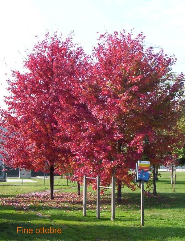 Aceri di monte rossi in autunno forum natura for Acero rosso canadese prezzo