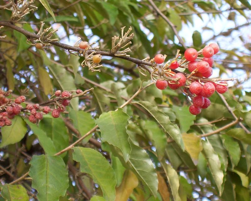 Albero con bacche rosse natura nel mondo forum for Pianta ornamentale con bacche rosse