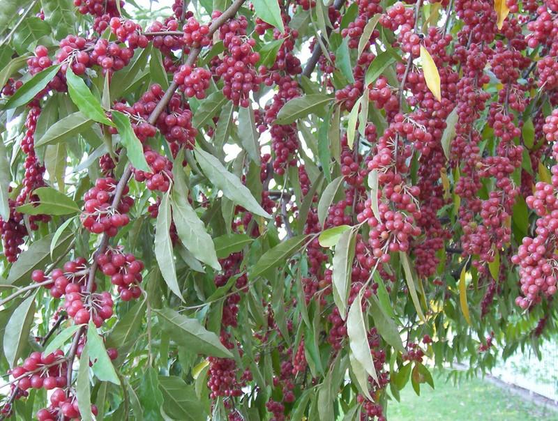 Albero con bacche rosse natura nel mondo forum - Piante da giardino con bacche rosse ...