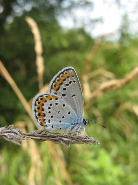 Lepidoptera dei Colli Euganei 1