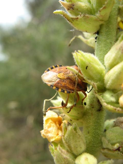 Heteroptera dei Colli Euganei
