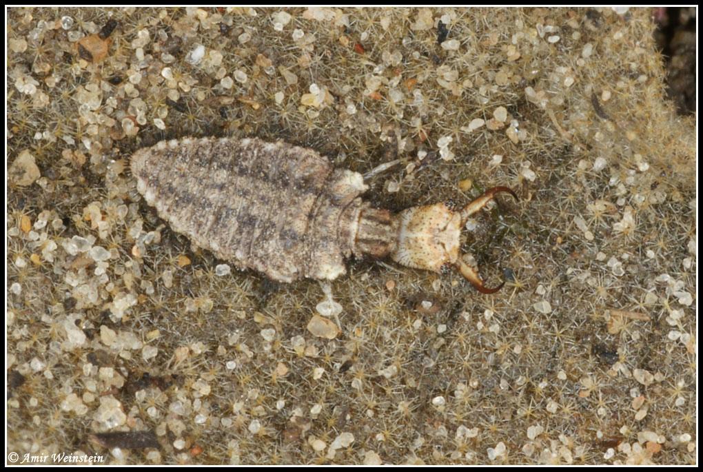 larva di Myrmeleontidae su pianta di verbasco (Israele)