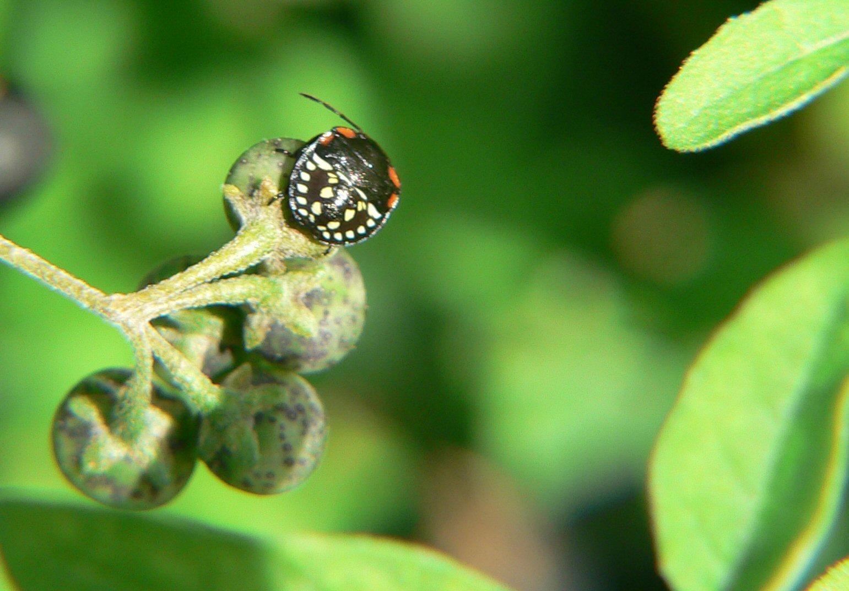 Nezara viridula - la crescita