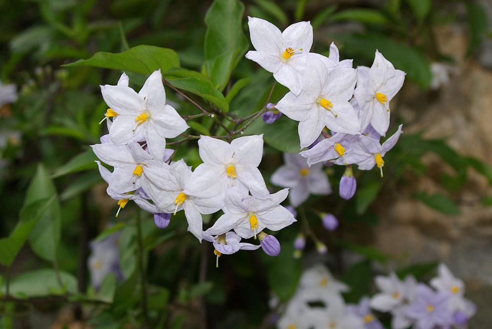 Solanum jasminoides pianta coltivata forum natura for Nomi di fiori bianchi