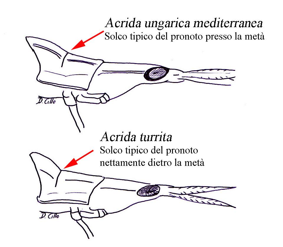 Acrida turrita o Acrida ungarica mediterranea ?