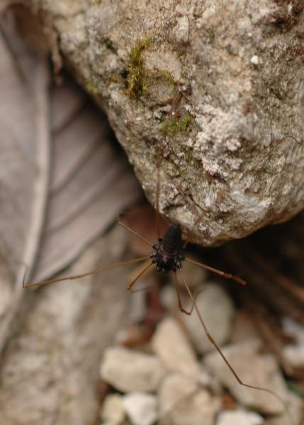 Platybunus dalla Val d''Astico (VI) - forse pinetorum (?)