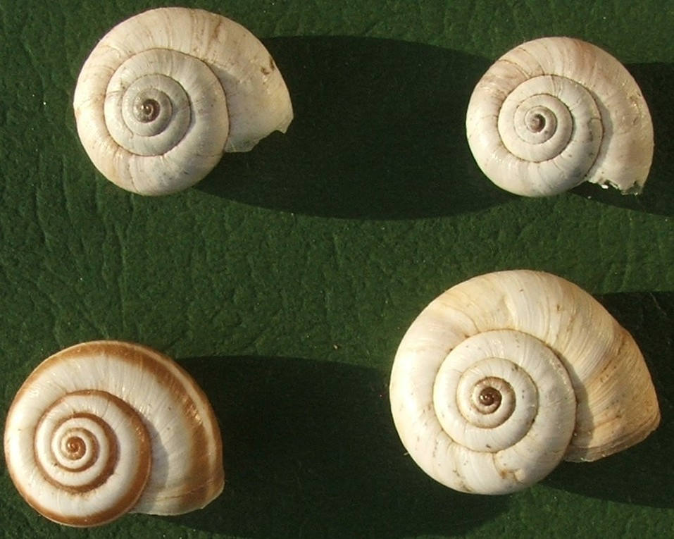 Hygromiidae (?) xerofila dai M.Berici (VI). Da determinare