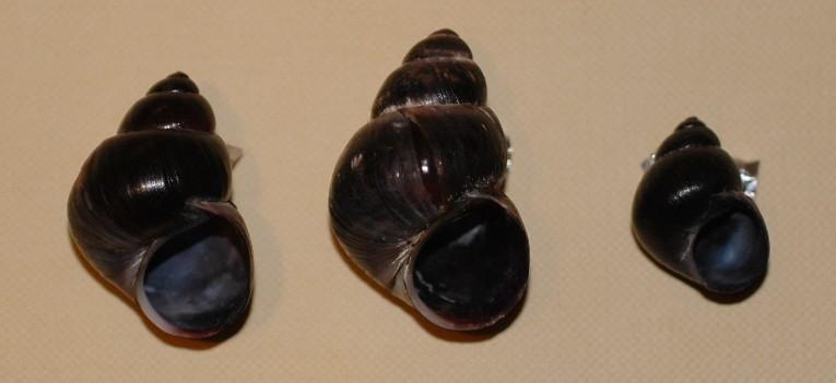 Viviparus ater (De Cristofori & Jan, 1832)
