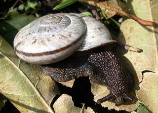 Chilostoma cingulatum tigrinum (De Cristofori & Jan 1832)