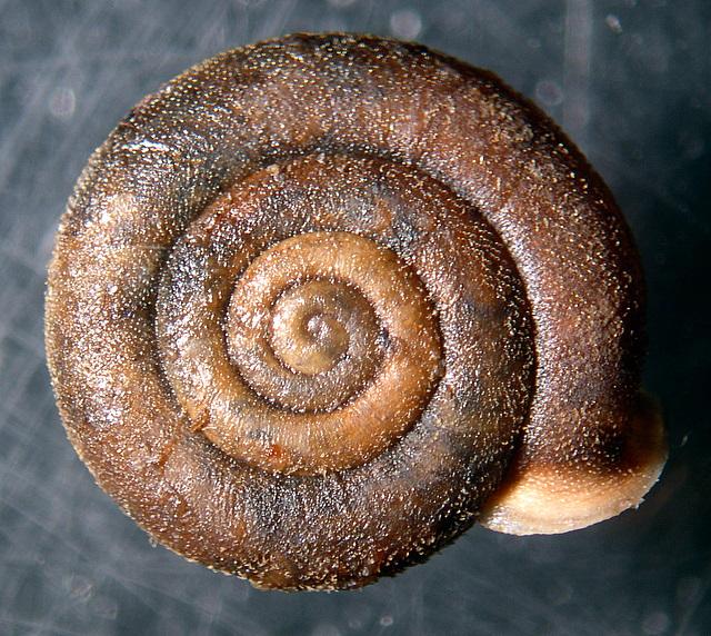 Causa holosericea   (Studer 1820)